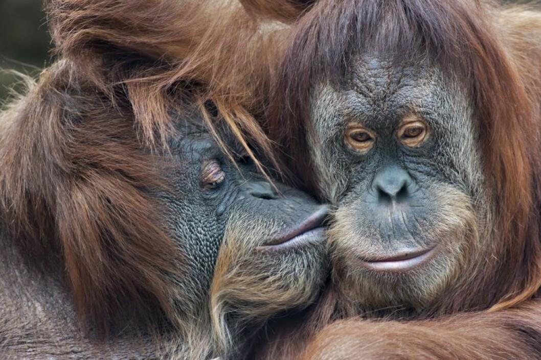 Apor kysser varandra som människor.