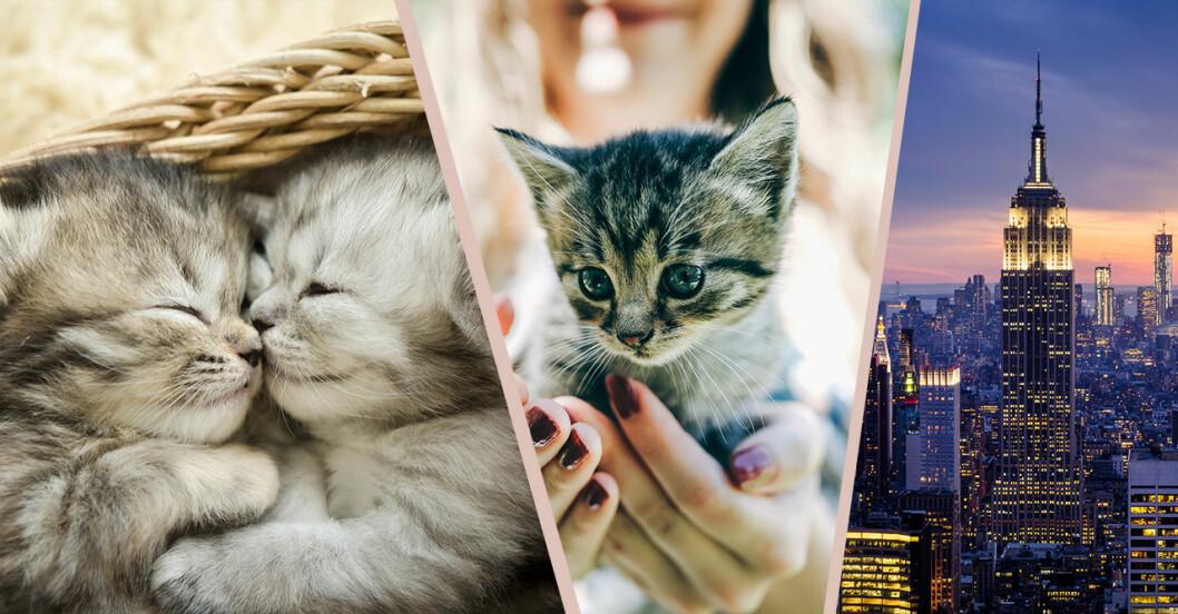 Bo med kattungar på Kittenbnb i New York