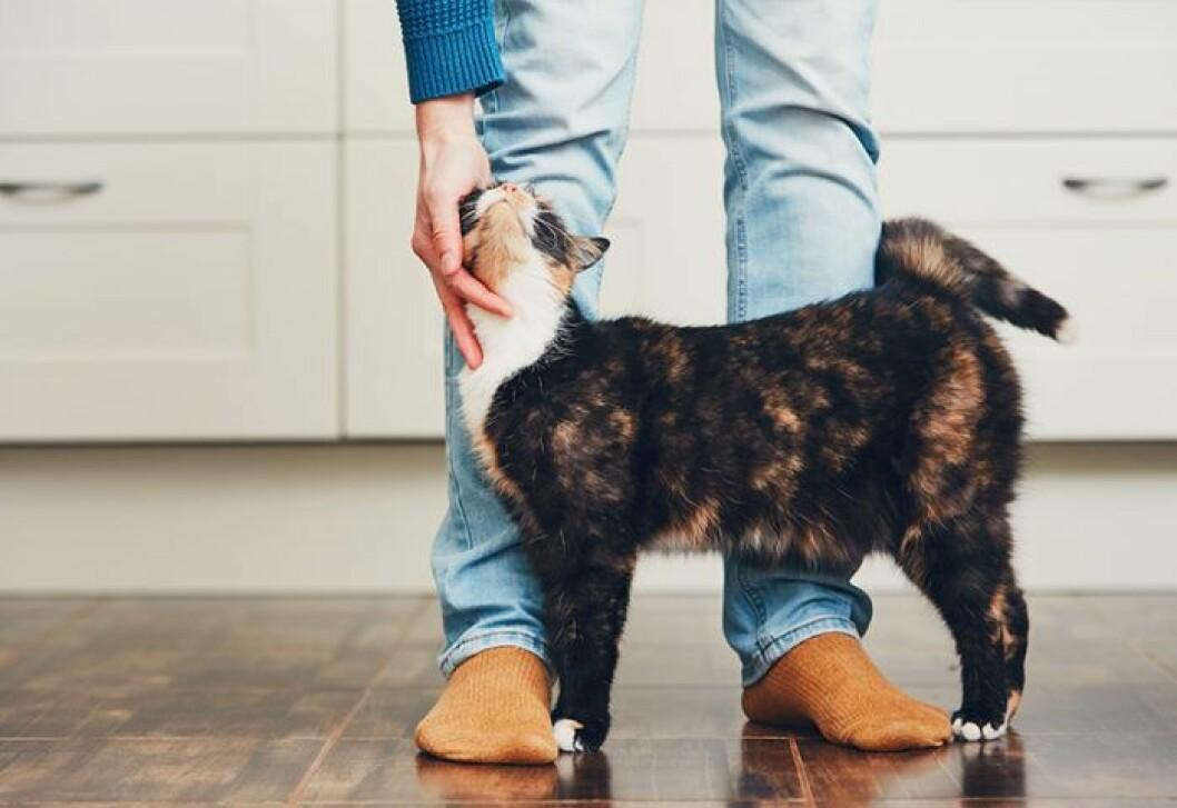 normalviktig katt