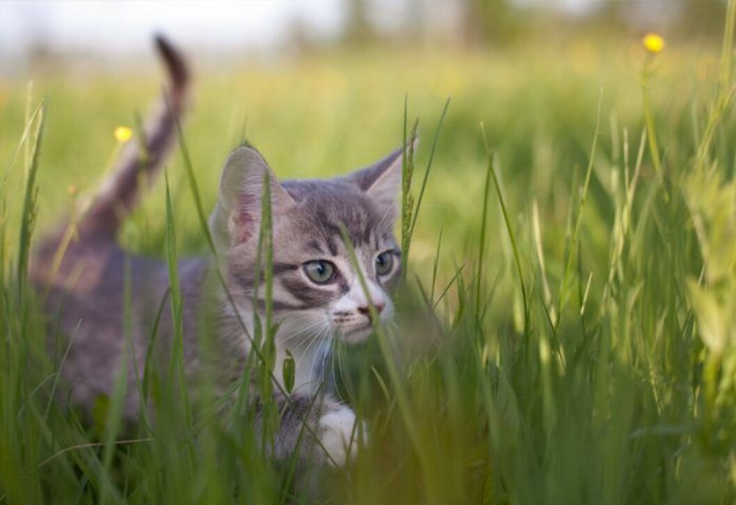 orädd katt