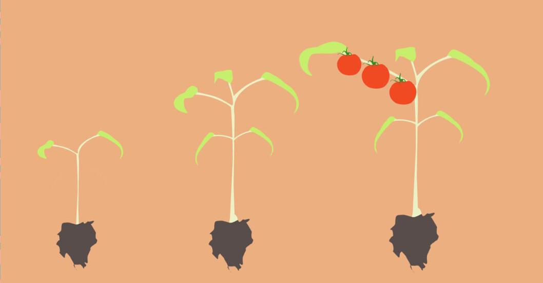 Odla tomat i kruka