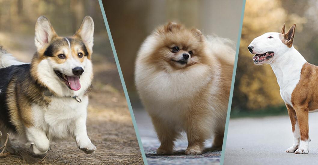 Quiz vad kan du om hundraser