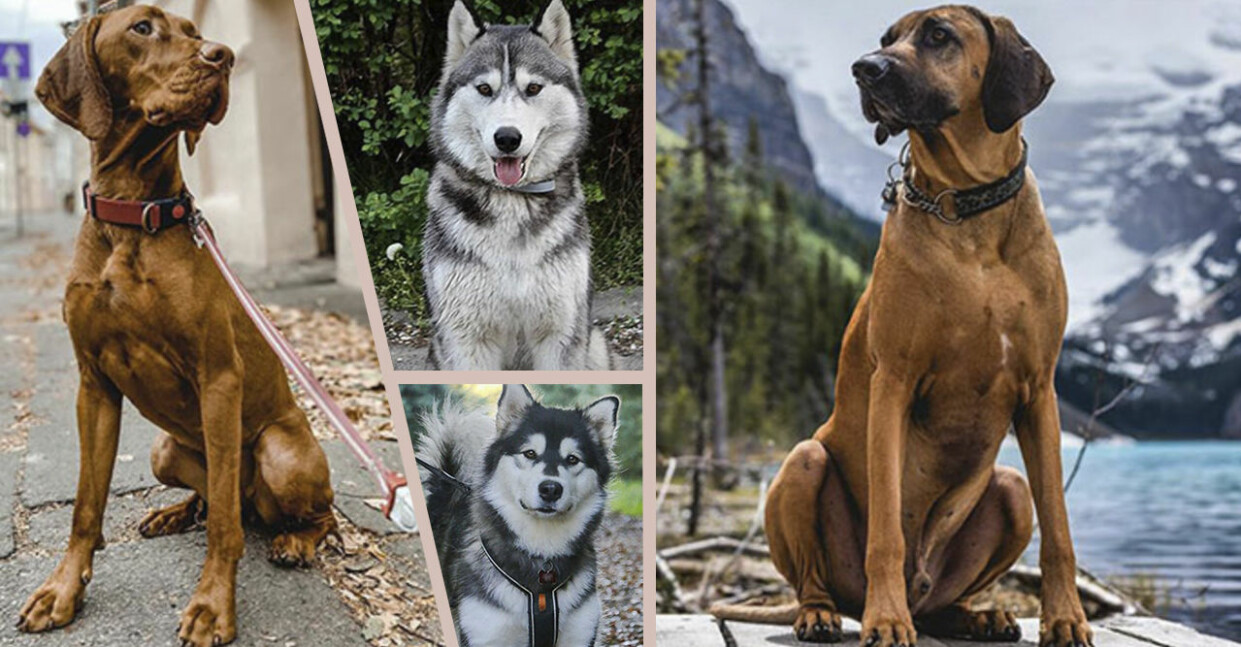 Testa om du kan se skillnad på de olika hundraserna här