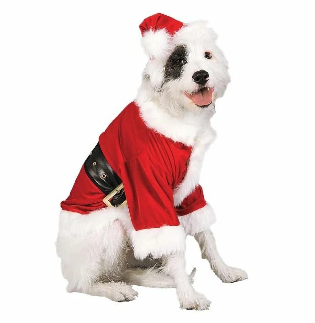 Tomtedräkt till hunden inför julen 2019